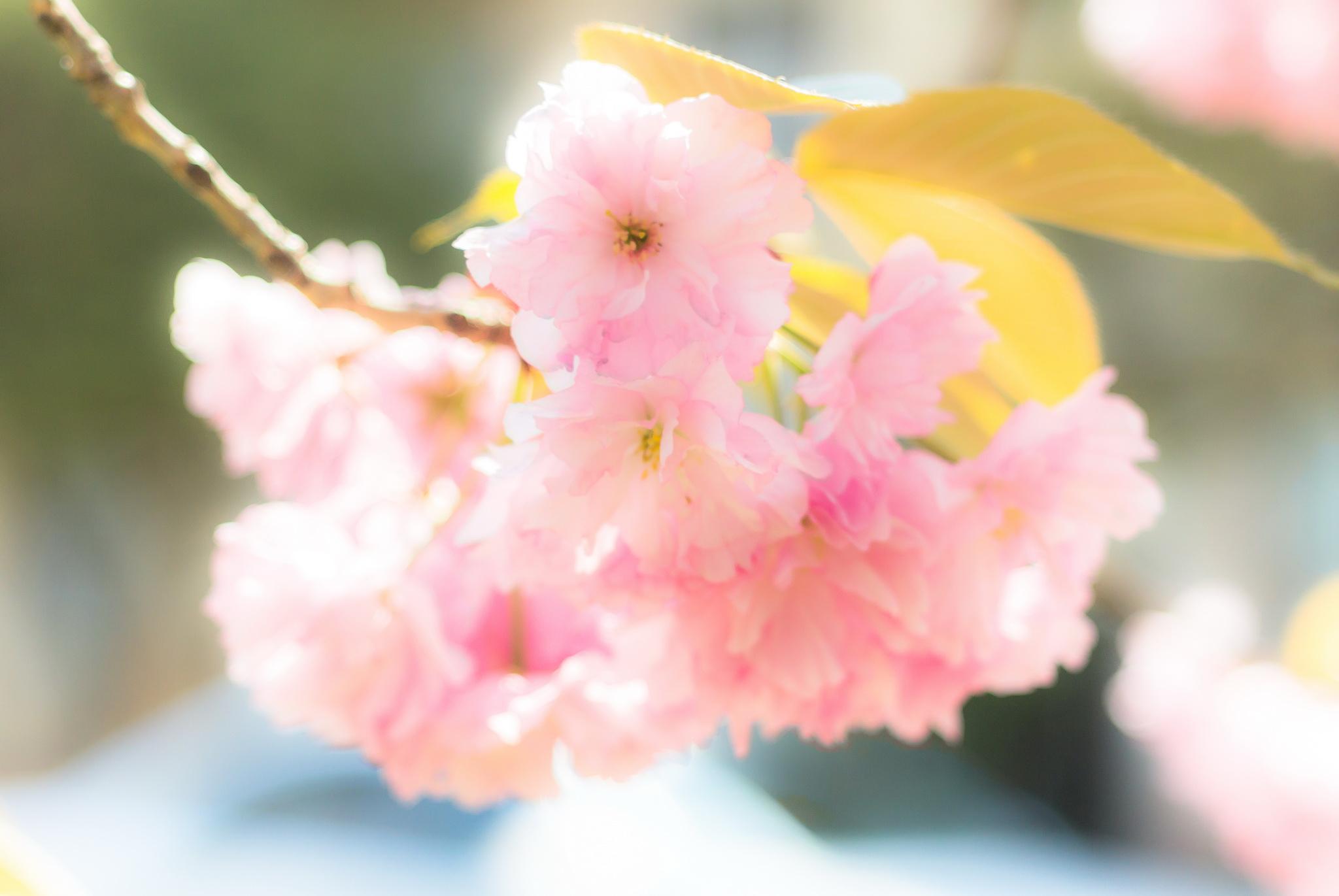Цветение сакуры в Ужгороде и маршрут по мини-скульптурам